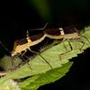 Peru 2014: Tamshiyacu-Tahuayo Reserve - Mating Coreid Bugs (Coreidae: Coreinae: Hypselonotini: Hypselonotus sp.)