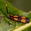 Peru 2014: Tamshiyacu-Tahuayo Reserve - Net-winged Beetle (Lycidae: Lycinae: possibly Metapteron; sp.)
