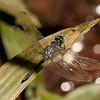 Peru 2014: Tamshiyacu-Tahuayo Reserve -  Dragonfly (Libellulidae: Oligoclada sp.)