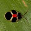 Peru 2014: Tamshiyacu-Tahuayo Reserve - Tortoise Beetle (Chrysomelidae: Cassidinae: Spilophorini: Spilophora trigemina)