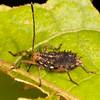Peru 2014: Tamshiyacu-Tahuayo Reserve - Squash Bug nymph (Coreidae: Coreinae: Acanthocerini)