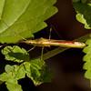 Peru 2014: Tamshiyacu-Tahuayo Reserve - Rice Bug (Alydidae: Micrelytrinae: Leptocorisini: Stenocoris sp.)