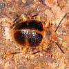 Peru 2014: Tamshiyacu-Tahuayo Reserve - Handsome Fungus Beetle (Endomychidae: Lycoperdininae: Corynomalus sp.; near C. vestitus)