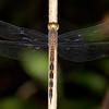 Peru 2014: Tamshiyacu-Tahuayo Reserve - Tropical Skimmer (Libellulidae: Uracis fastigiata) female