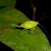 Peru 2014: Tamshiyacu-Tahuayo Reserve - Peru 2014: Tamshiyacu-Tahuayo Reserve - Katydid nymph (Tettigoniidae: Phaneropterinae)