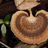 597 Shelf or Bracket Fungus (Ganodermataceae possibly Ganoderma sp )_9691