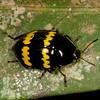 Peru 2014: Tamshiyacu-Tahuayo Reserve - Pleasing Fungus Beetle (Erotylidae)