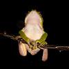 Peru 2014: Tamshiyacu-Tahuayo Reserve - Giant Leaf Frog (Hylidae: Phyllomedusinae: Phyllomedusa bicolor)