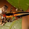 Peru 2014: Tamshiyacu-Tahuayo Reserve - Click Beetle (Elateridae: Semiotinae: Semiotus bilineatus)
