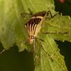 Peru 2014: Tamshiyacu-Tahuayo Reserve - Coreid Bug (Coreidae: Coreinae: Hypselonotini: Hypselonotus sp.)
