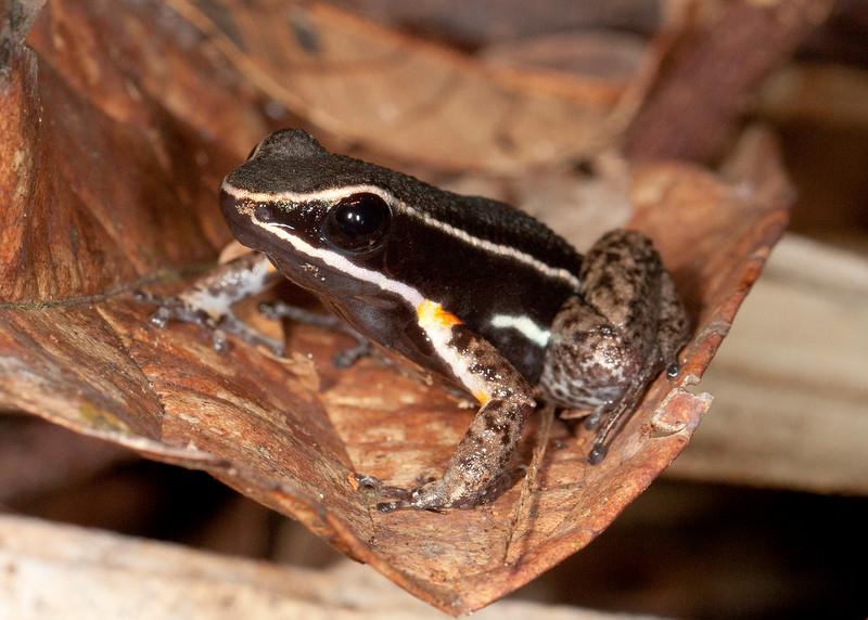 Peru 2014: Tamshiyacu-Tahuayo Reserve - Poison Dart Frog (Dendrobatidae: Colostethinae: Ameerega hahneli)