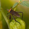 Peru 2014: Tamshiyacu-Tahuayo Reserve - Coreid Bug (Coreidae: Coreinae: Anisoscelini:  Phthiacnemia picta)