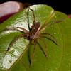 Peru 2014: Tamshiyacu-Tahuayo Reserve - Wandering Spider (Ctenidae: Cteninae: possibly Cupiennius sp.)