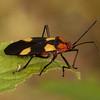 Peru 2014: Tamshiyacu-Tahuayo Reserve - Seed Bug (Lygaeidae: Oncopeltus sp.)