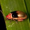 Peru 2014: Tamshiyacu-Tahuayo Reserve - Flea Beetle (Chrysomelidae: Galerucinae: Alticini: possibly Asphaera sp.)