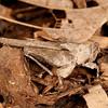 Peru 2014: Tamshiyacu-Tahuayo Reserve - Grouse Locust (Tetrigidae)