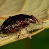 Peru 2014: Tamshiyacu-Tahuayo Reserve - Probably a Leaf Beetle (Chrysomelidae)