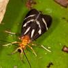 Peru 2014: Tamshiyacu-Tahuayo Reserve - Caddisfly (Trichoptera: Calamoceratidae: Phylloicus sp.)