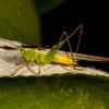 Peru 2014: Tamshiyacu-Tahuayo Reserve - Conehead or Meadow Katydid (Tettigoniidae: Conocephalinae: Conocephalus sp.) male