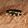 Peru 2014: Tamshiyacu-Tahuayo Reserve -  Large-headed Tiger Beetle (Carabidae: Cicindelinae: Megacephalini: Megacephala sp.; possibly M. [Tetracha] carolina)