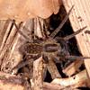 Peru 2014: Tamshiyacu-Tahuayo Reserve - Wandering Spider (Ctenidae: possibly Ancylometes rufus)