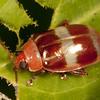 Peru 2014: Tamshiyacu-Tahuayo Reserve - Flea Beetle (Chrysomelidae: Galerucinae: Alticini: Asphaera sp.; possibly A. cruciata)
