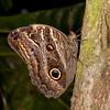 Peru 2014: Tamshiyacu-Tahuayo Reserve - Owl Butterfly (Nymphalidae: Satyrinae: Brassolini: Caligo sp.)