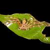 Peru 2014: Tamshiyacu-Tahuayo Reserve - Huntsman or Giant Crab Spider (Sparassidae)