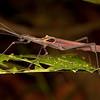 Peru 2014: Tamshiyacu-Tahuayo Reserve - Flying Stick Insect (Pseudophasmatidae: Pseudophasmatinae: Pseudophasma sp.; probably P. castaneum blanchardi)