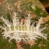 Peru 2014: Tamshiyacu-Tahuayo Reserve - Slug Moth caterpillar (Limacodidae)