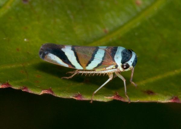 Peru 2014: Tamshiyacu-Tahuayo Reserve - Sharpshooter (Cicadellidae: Cicadellinae: Cicadellini: Macugonalia moesta)