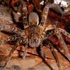 Peru 2014: Tamshiyacu-Tahuayo Reserve - Wandering Spider (Ctenidae: Cteninae: probably Ancylometes bogotensis)