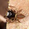 Peru 2014: Tamshiyacu-Tahuayo Reserve - Jumping Spider (Salticidae: Euophryinae)