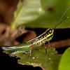 Peru 2014: Tamshiyacu-Tahuayo Reserve - Spur-throat Grasshopper (Acrididae: Leptysminae: Tetrataeniini: Mastusia quadricarinata)