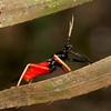 Peru 2014: Tamshiyacu-Tahuayo Reserve - Bee Killer Assassin Bug (Reduviidae: Harpactorinae: Apiomerini: Calliclopius nigripes)