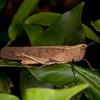 Peru 2014: Tamshiyacu-Tahuayo Reserve -  Grasshopper (Romaleidae: Romaleinae: possibly Maculiparia sp.)