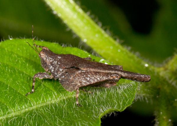 Peru 2014: Tamshiyacu-Tahuayo Reserve - Grouse Locust (Tetrigidae: Metrodorinae: Eomorphopus sp.)