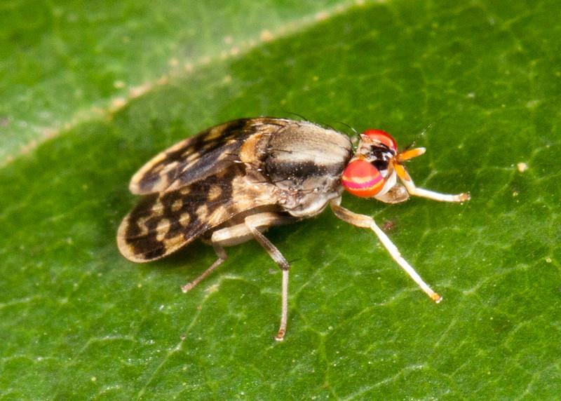Peru 2014: Tamshiyacu-Tahuayo Reserve - Unidentified Marsh Fly (Sciomyzidae: Sciomyzinae)