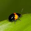 Peru 2014: Tamshiyacu-Tahuayo Reserve - Unidentified Leaf Beetle (Chrysomelidae_)