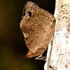 Peru 2014: Tamshiyacu-Tahuayo Reserve - Purplewing (Nymphalidae: Satyrinae: Catonephelini: Eunica sp.; probably E. bechina)