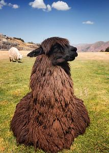 Llama sexywoman
