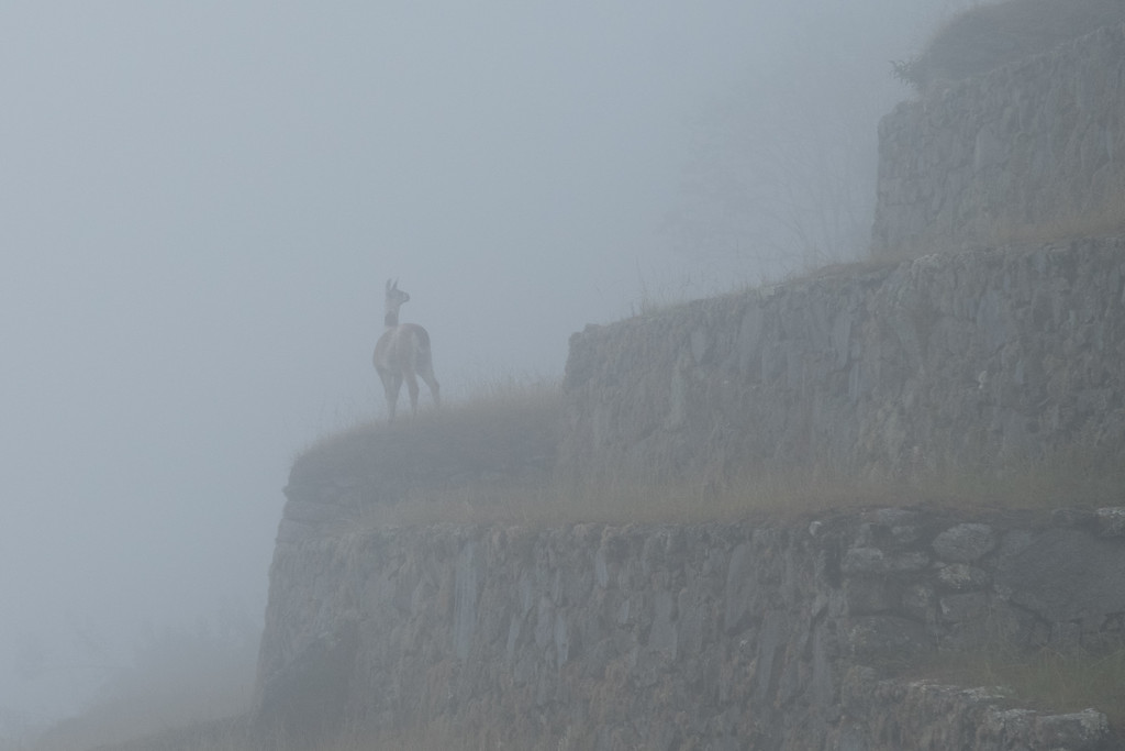 In the early morning, the fog was so thick that we could not see the site. Even the llamas seem confused by the low visibility
