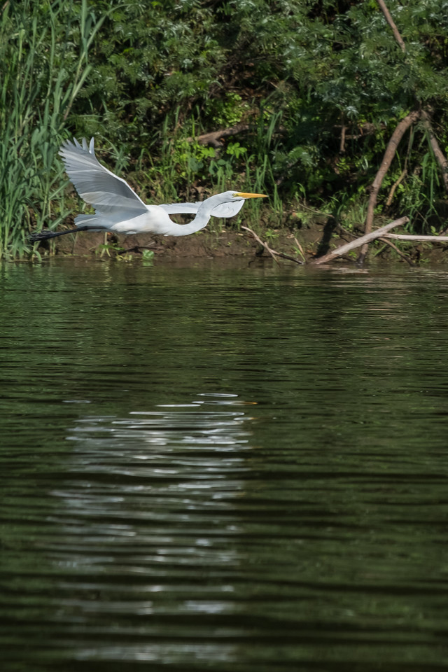 We took skiffs up the smaller tributaries, seeing many types of birds, including this egret
