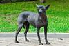 Hairless Peruvian Dog<br /> <br /> Perro sin pelo peruano<br /> <br /> Haarloze Peruviaanse hond<br /> <br /> Chien péruvien sans poils