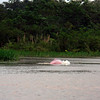 (Photo 0322)  Yes, this is a real pink dolphin in the Amazon River.