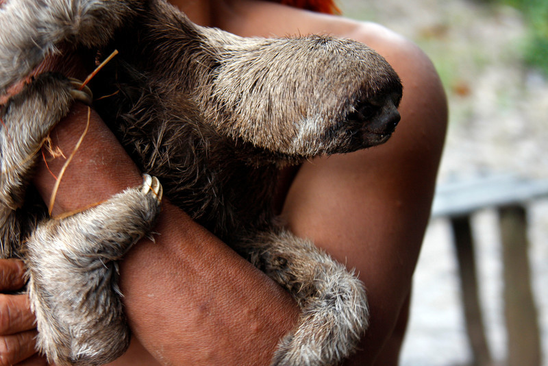 (Photo 0158)  This creature is called a Sloth. It moves very slow and the claws helps it climb trees.