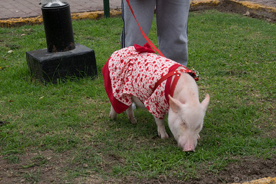 They even have pet pigs in Lima.