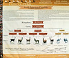 03. Chart, at a Awanacancha, showing South American camelidae (relatives of camels)---Alpacas, Llamas, Vicuñas, and Guanacos. They are bred at this small farm for their wool.