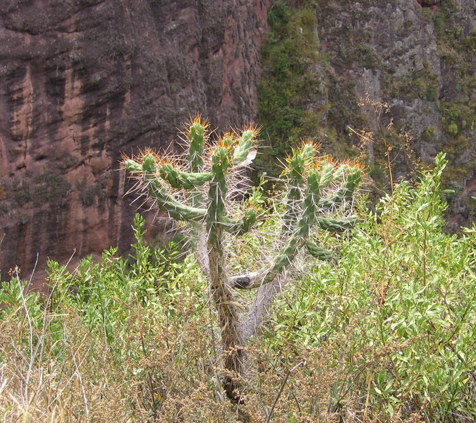 Cactus is readily available throughout the Sacred Valley.