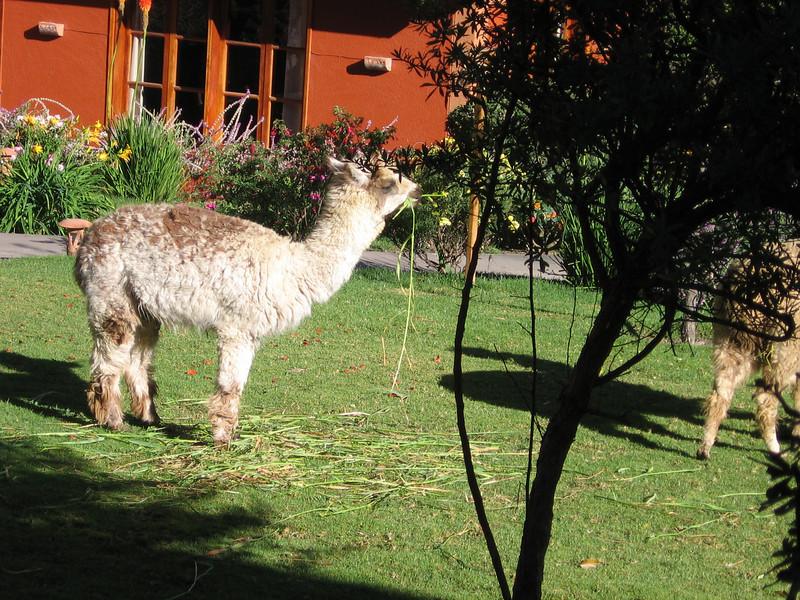 Resident llamas at the hotel.